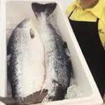 Giá cá hồi nauy nuôi có đắt không